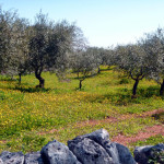 Olive groves filled with flowers make this ride a beautiful experience.